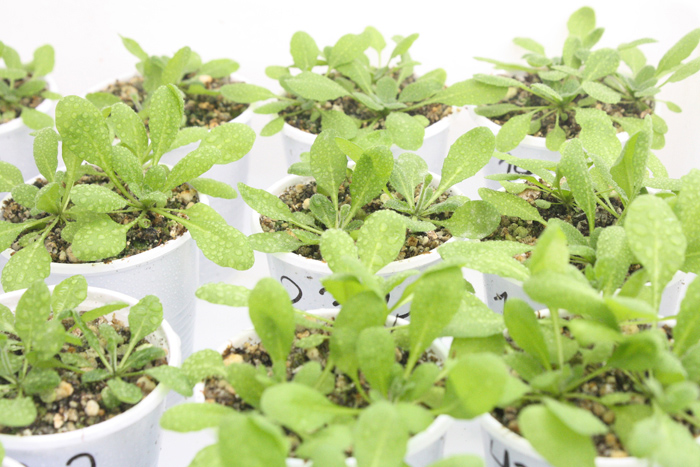 El trabajo de los científicos del Instituto Leloir se realizó en Arabidopsis thaliana, un modelo clásico para la investigación de vegetales.