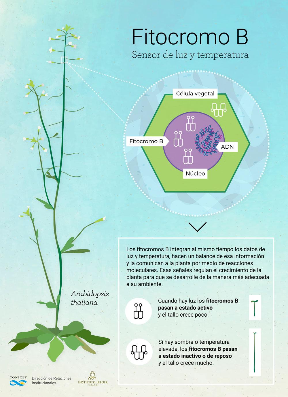 """Casal y su equipo comprobaron que un receptor lumínico de los vegetales también actúa como """"termómetro"""" e influye sobre su crecimiento y desarrollo"""