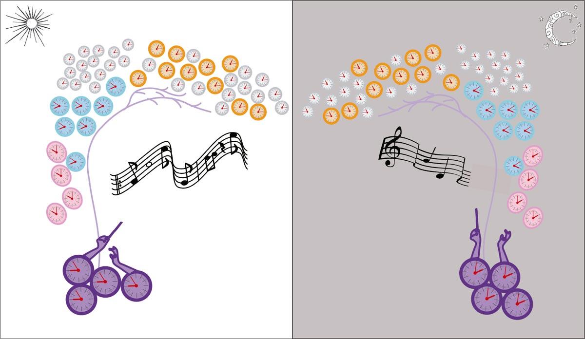 """El trabajo de las investigadoras del CONICET en el Instituto Leloir demostró que el """"reloj central"""" de la mosca actúa como un director de orquesta  que sincroniza  - a lo largo del día - los distintos relojes circadianos del cerebro apoyándose como mínimo en dos batutas: los neurotransmisores PDF y glicina."""