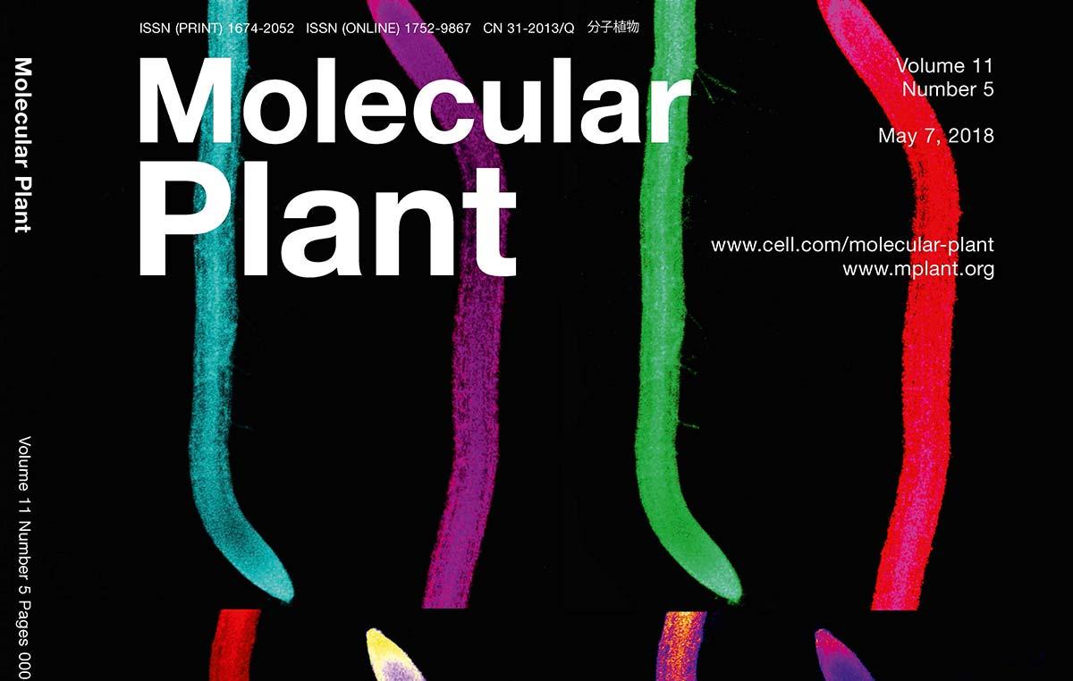 """Un artículo de revisión del doctor José Estévez es tapa de la revista """"Molecular Plant"""" (Cell Press): Las raíces de las plantas son multicensores del estatus nutricional y de agua del suelo y a la vez integran señales endógenas para decidir si crecen o no y en qué dirección."""