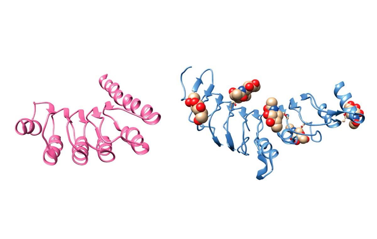 Proteína sin azúcar (izq.) y con azúcar (glicoproteínas). Ciertas enfermedades congénitas se producen a causa de mutaciones en diversas glicoproteínas claves para la vida del ser humano. Parodi logró explicar por qué la maquinaria celular no es capaz de llevar a dichas moléculas a adoptar una estructura tridimensional correcta y/o no puede la célula detectar que está mal plegada y así destruirla.