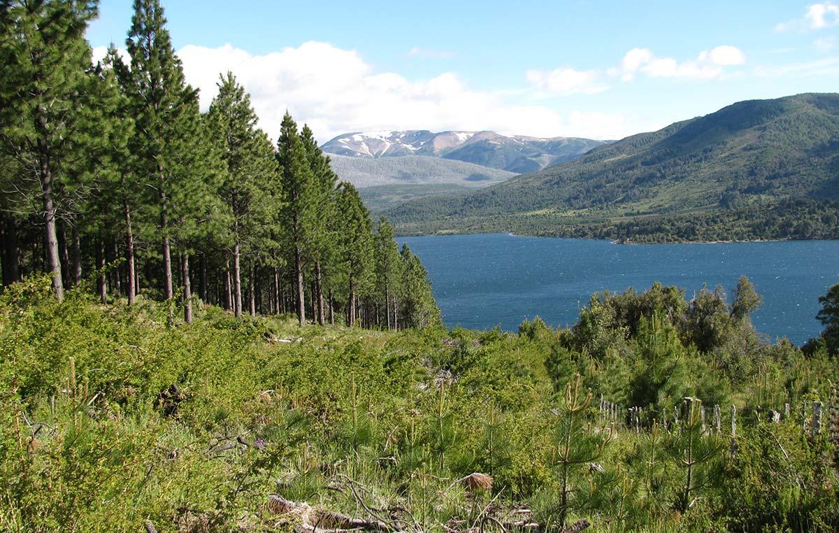 Los estudios liderados por Austin demuestran que la capacidad de almacenaje de carbono de los árboles nativos de la Patagonia es mayor a la de las plantaciones de pino de 40 años de antigüedad.