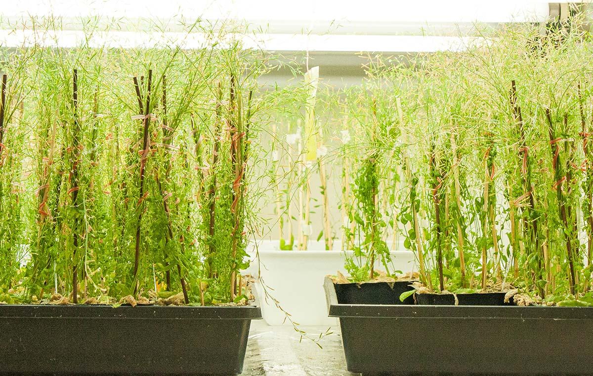 Algunos experimentos del laboratorio del Dr. Jorge Casal se realizan en Arabidosis thaliana, un modelo vegetal que comparte información genética con el maíz, trigo y otros cultivos de importancia alimentaria.