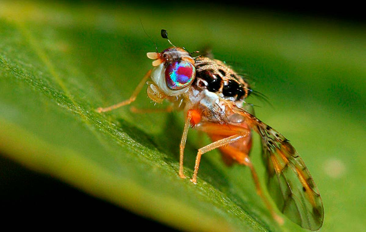 La mosca mediterránea de la fruta (Ceratitis capitata), la principal plaga mundial de frutas.