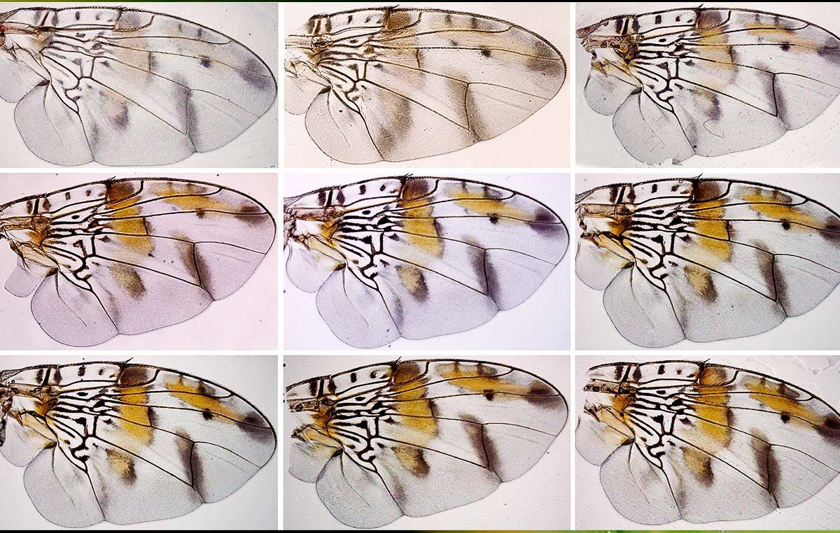 Sorpresivamente los científicos del Instituto Leloir descubrieron que las manchas marrón dorado de la principal plaga mundial de frutas y huertos se generan cuando ya no hay células en sus alas.