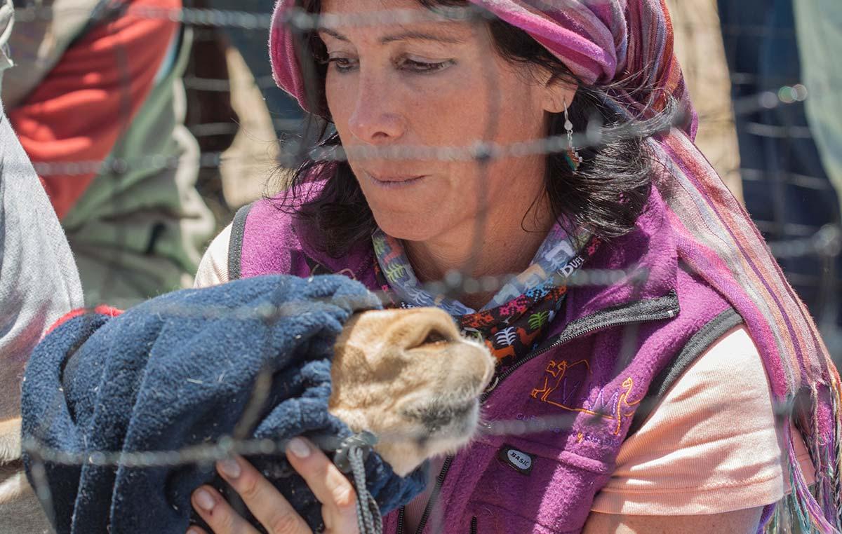 La doctora Bibiana Vilá sujetando una vicuña en el chaku en Santa Catalina, en la Provincia de Jujuy. Créditos: Silvina Enrietti