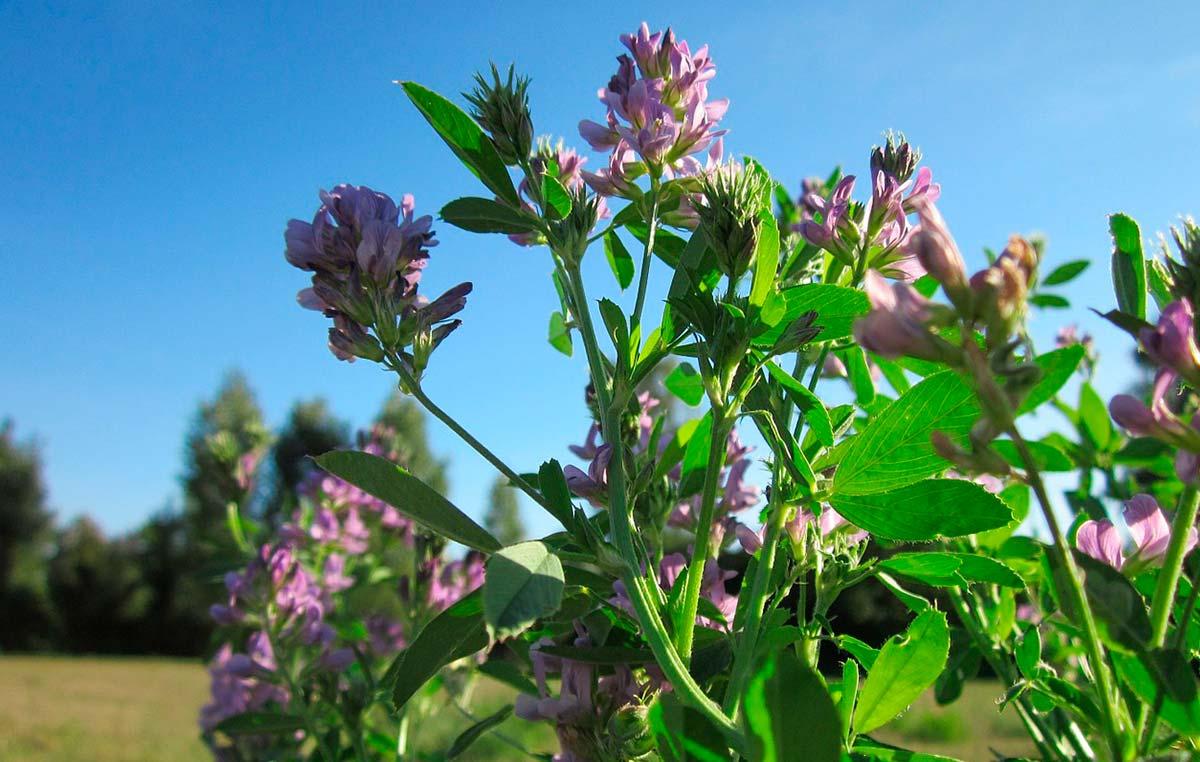 Los investigadores del Instituto Leloir, del CONICET, de la UBA y dela empresa de biotecnología agrícola INDEAR-Bioceres desarrollaron plantas de alfalfa de mayor calidad nutritiva.