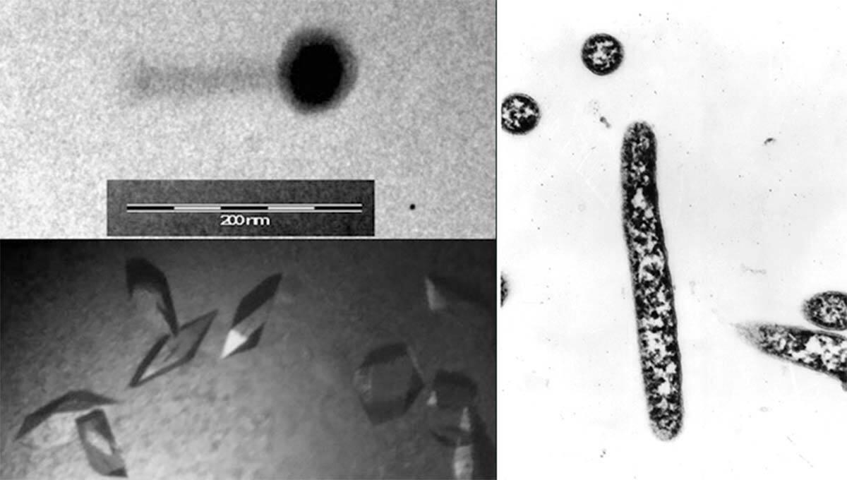 Imagen por microscopía electrónica del virus (arriba izq.); bacteria antártica Bizionia argentinensis (der.), y cristales de la proteína del virus (abajo izq.) resuelta por los investigadores.