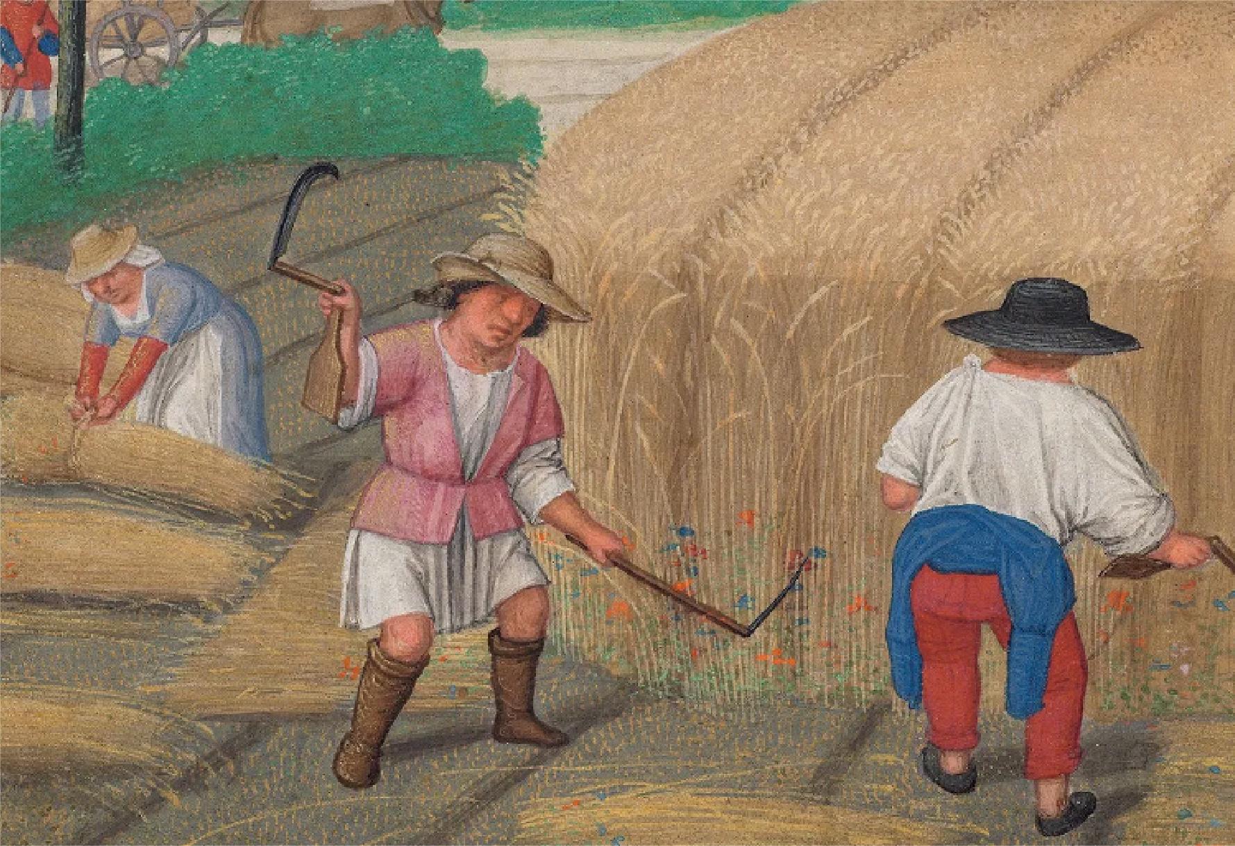 Pintura de 1515 sobre cosecha de trigo. Las plantas tenían la altura de los campesinos. Ahora son de menor estatura para producir más granos por hectárea. Créditos: Akademische Druck - u. Verlagsanstalt, Graz/Austria.