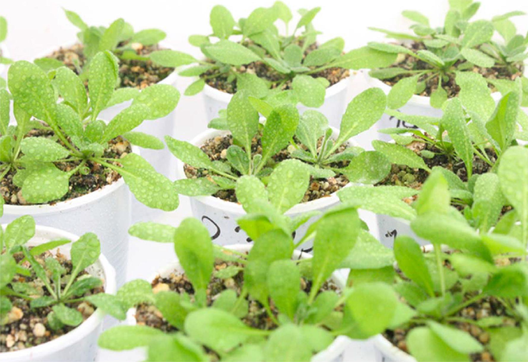 Los investigadores realizaron experimentos con Arabidopsis thaliana, un modelo vegetal que comparte genes con trigo, maíz y otros cultivos de importancia.